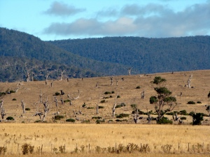 Standing dead trees in the Tasmanian Midlands. Does this decline mean we should more urgently attend to issues in the landscape? Or does it send a signal to you that the system is too far gone?