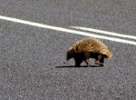 Echidna searching for love on the other side of the road.