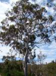 I've been told by many people that eucalypts aren't as beautiful as other trees. But look at that form!