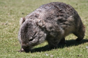 Wombat on Maria Island.